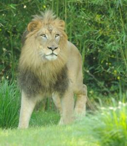 Lion 2391 B