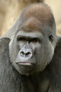 Lowland Gorilla D0039Jomo