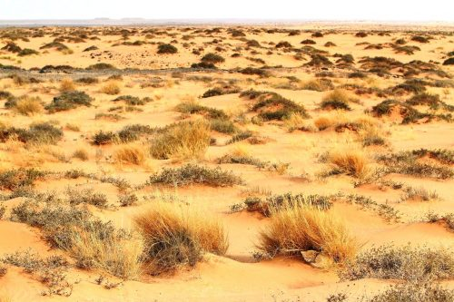 Can you find the sand cat hidden among the Sahara Desert landscape? (Photo: Dr. Alex Sliwa)