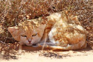 Sand cat, Lucifer,rests beneath a tuft of grass (Photo: Dr. Alex Sliwa)