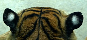 White spots on back of tiger's eyes