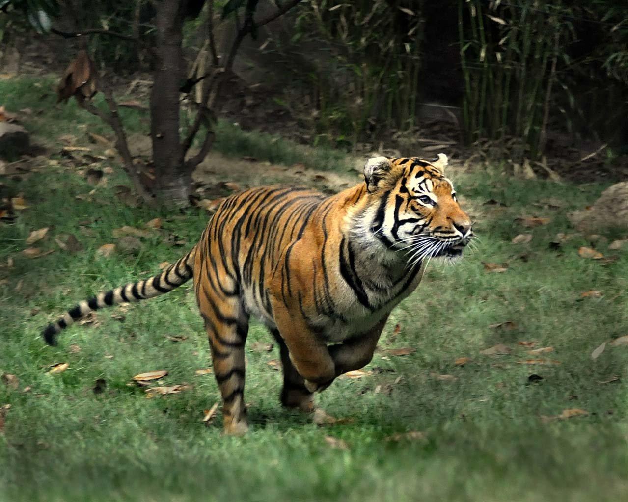 Malayan Tiger Wallpaper