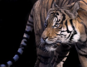 Malayan tiger (Photo: Kathy Newton)