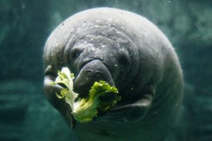 Rotund? That's healthy for a manatee. (Photo: Mark Dumont)