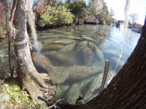 Florida manatees in Crystal River National Wildlife Refuge (Photo: U.S. Fish and Wildlife Service)