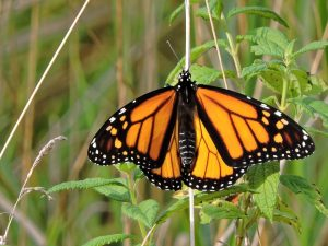 Monarch Butterfly (Photo: MaxPixel)