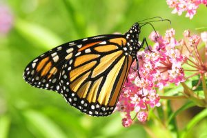 Monarch on swamp milkweed (Photo: Tom Koerner)