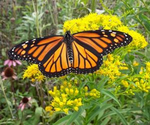 Monarch butterfly (Photo: Sarah Elam)