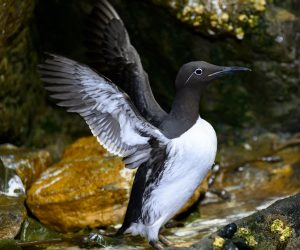 Common Murre (Photo: David Jenike)