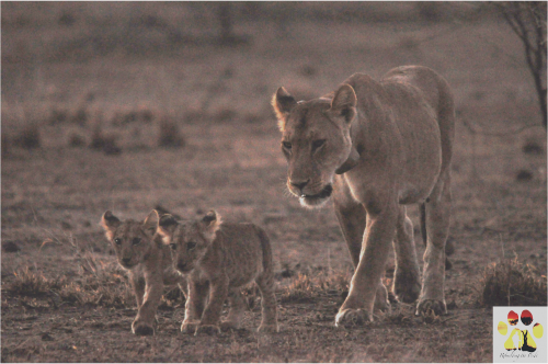 Namunyak and two of her young cubs (Photo: Guy Western/Rebuilding the Pride)