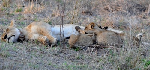 Nasha and cubs snoozing on the  savannah