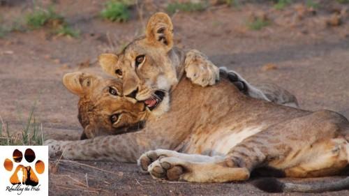 Nasha's cubs (Photo: Guy Western & Sarah Malcolm)