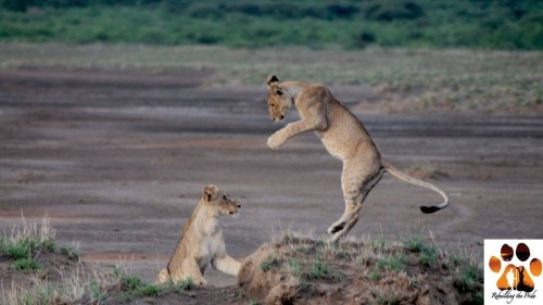 Nasha's cubs at play (Photo: Guy Western & Sarah Malcolm)