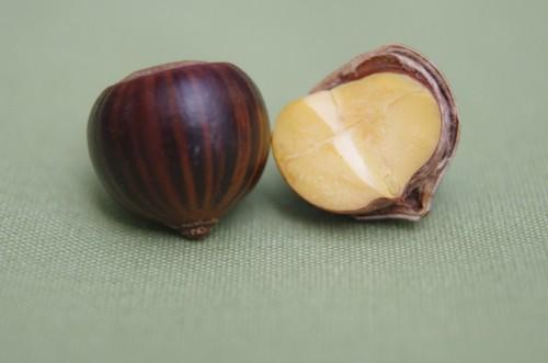 Oak embryo