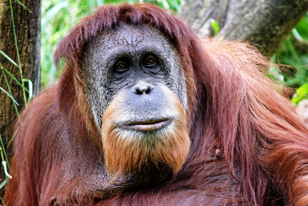 Orangutan (Photo: Connie Lemperle)