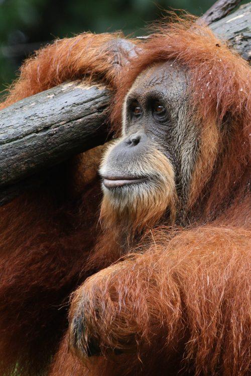 Orangutan (Photo: Mark Dumont