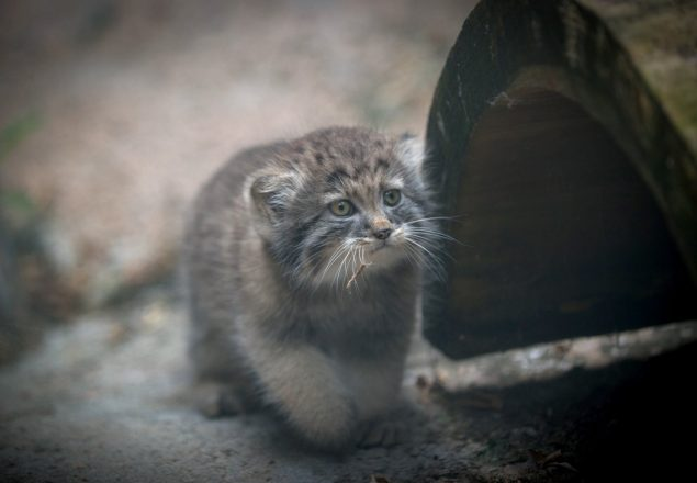 Pallas' cat born at Columbus Zoo (Photo: Amanda Carberry)