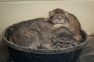 Mother and young Pallas' cat born at Columbus Zoo (Photo: Grahm S. Jones)