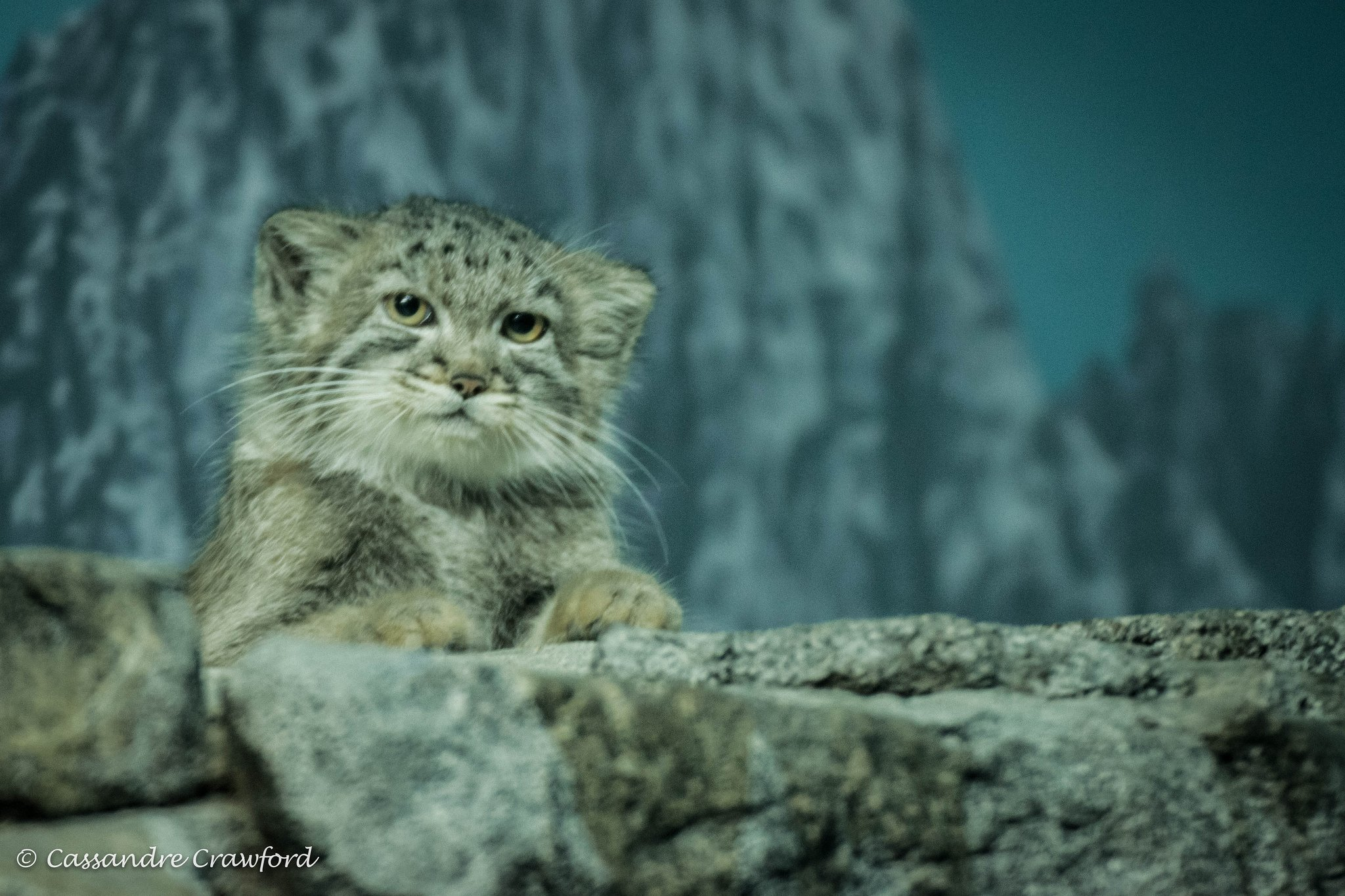 Pallas' cat (Photo: Cassandre Crawford)