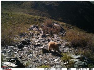 "Pallas' cat caught on camera (Photo: Barashkova, A. Pallas' cat (Otocolobus manul). -Small Wild Cats of Eurasia (Web-GIS ""Faunistics""). 2014. URL: http://wildcats.wildlifemonitoring.ru/#object/o_id=18059. Date: 02.01.2017.)"