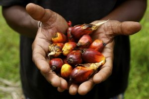 Palm fruit from which palm oil is made (Photo: Nafise Motlaq / World Bank)