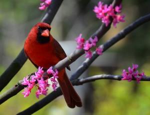 Cardinal (Photo: Eric J. Brock)