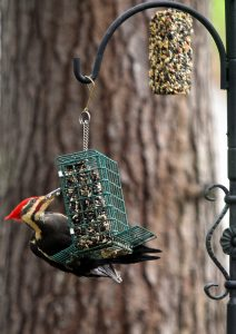 Pileated woodpecker on suet feeder (Photo: Anoldent/Flickr)