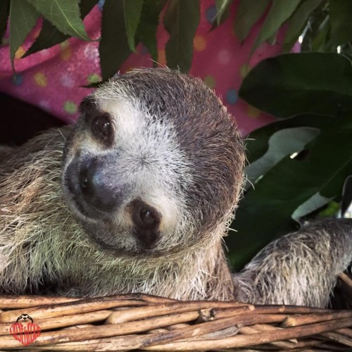 Here's Piper! (Photo: The Sloth Institute)