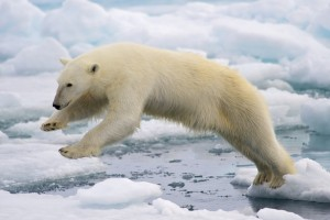 A young polar bear male jumping in the pack ice in Norway (Photo: Arturo de Frias Marques)