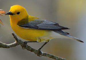 Prothonotary Warbler (Photo: Dave Inman)