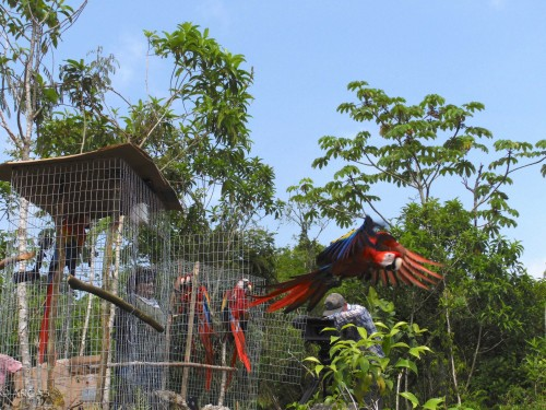 The macaws begin to leave the release cages (Photo: ARCAS)