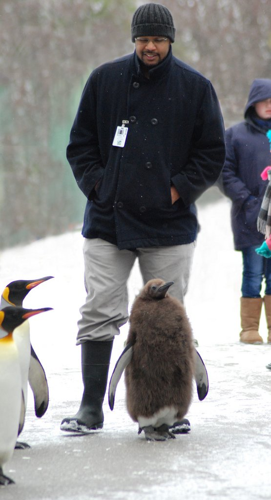 Rickey Kinley walking with penguins during the Penguin Parade
