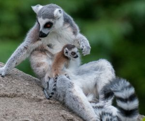 Ring Tailed Lemur with baby (Photo: Dave Jenike)