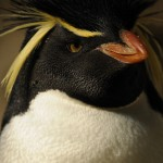 Rockhopper penguin (Photo: Dave Jenike)