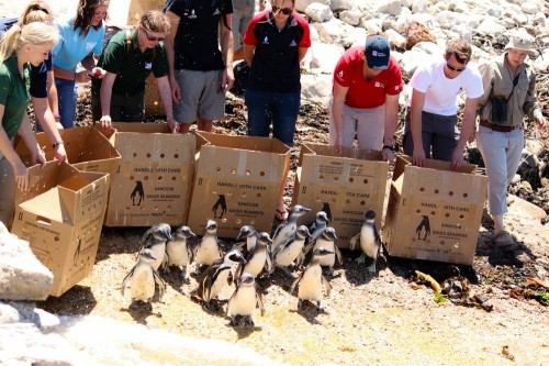 SANCCOB releases rehabilitated penguins (Photo: SANCCOB)