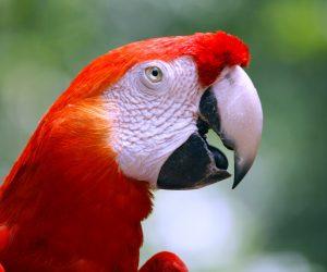 Scarlet macaw (Photo: Doug Wheller)