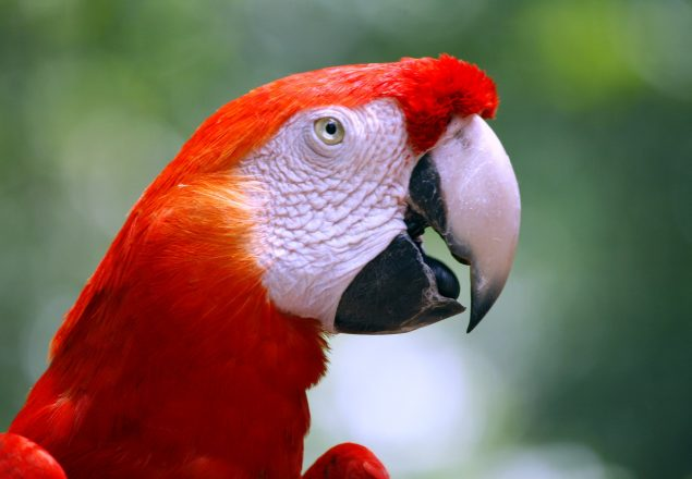 Scarlet macaw (Photo: Doug Wheller)