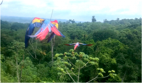 Scarlet macaws flying free (Photo: ARCAS)