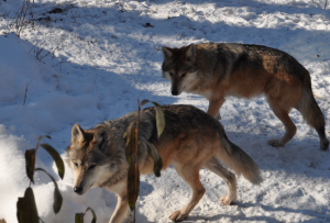 Mexican wolves at the Zoo