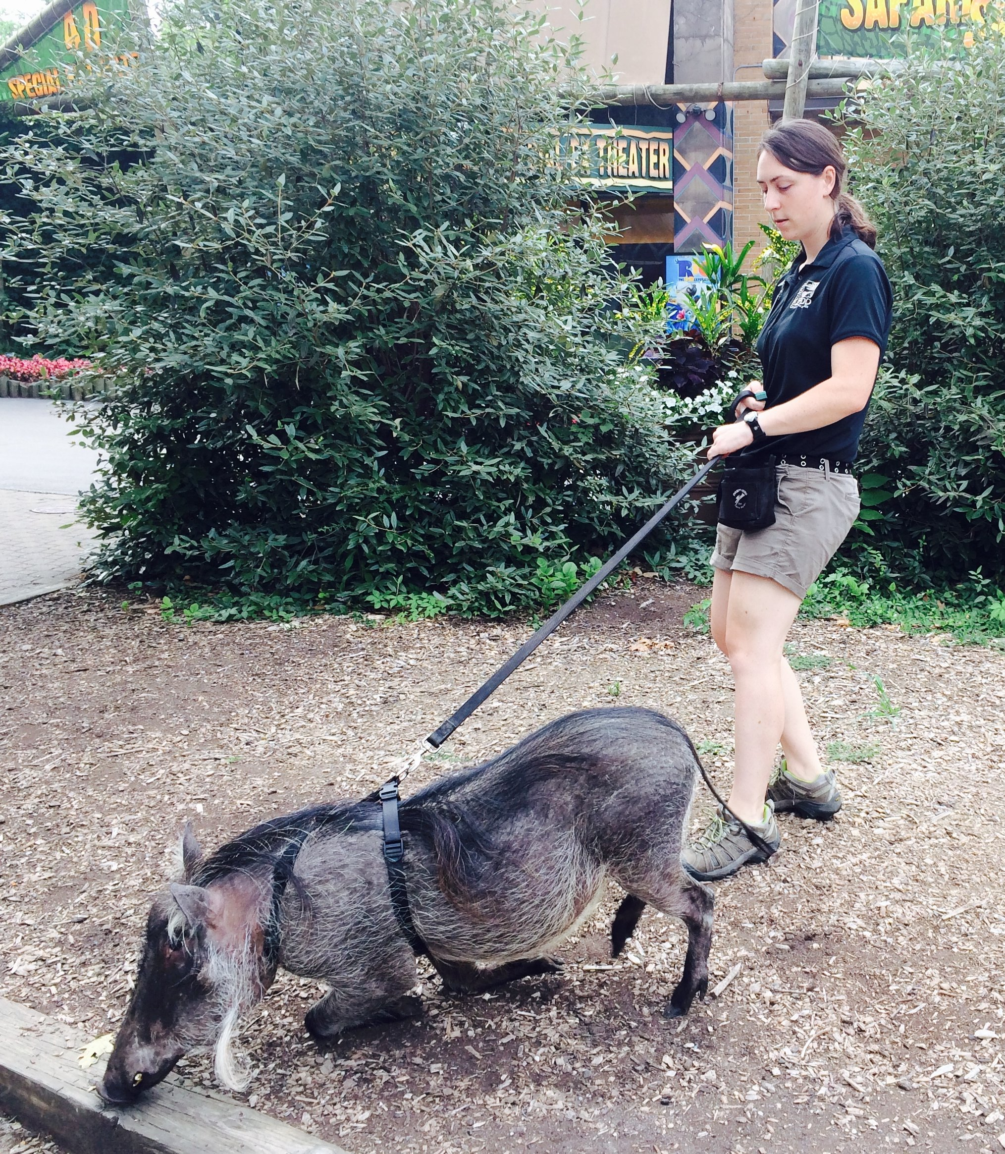 Shelly walks Walter the warthog