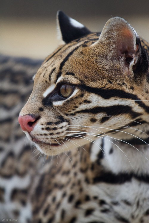 Sihil, the Zoo's ambassador ocelot (Photo: Mark Dumont)