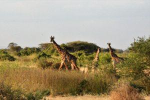 Masai giraffes in Kenya (Photo: Shasta Bray)