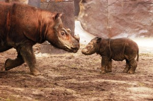 Sumatran rhino with baby (Photo: Dave Jenike)