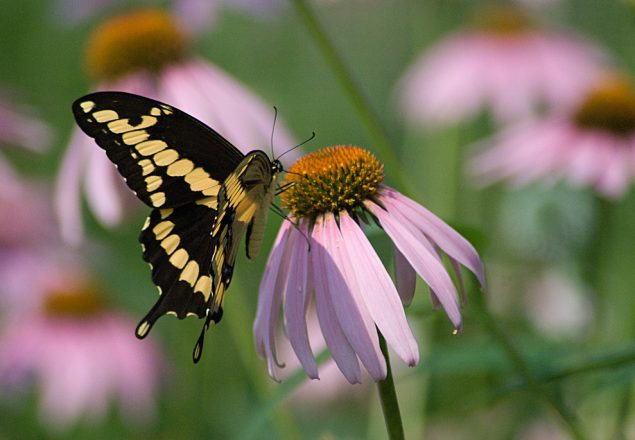 Butterfly on Flower (Photo: Kathy Newton)