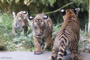 Tiger cubs from left to right: Izzy, Batari and Chira (Photo: Mark Dumont)
