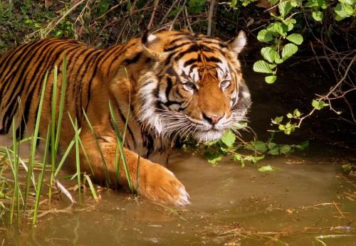 Tiger (Photo: Moni Sertel)