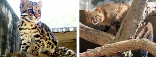 Tigrina  & Pampas cat