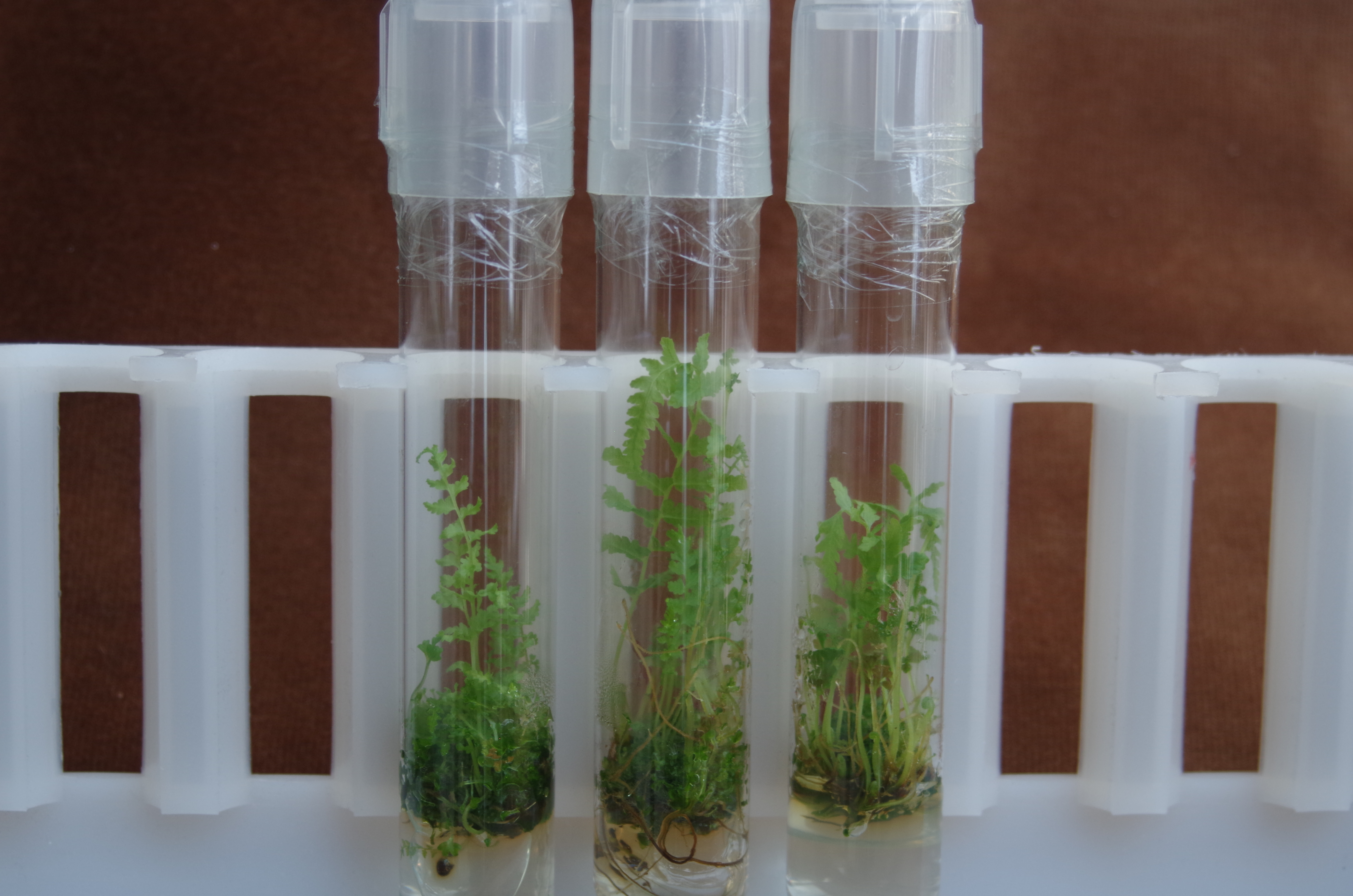 Growing T. patens in test tubes at CREW