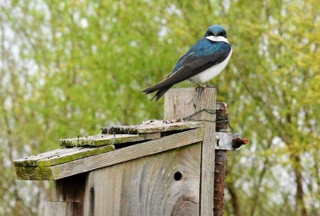Tree Swallow on Nest Box (Photo: Shasta Bray)