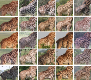 Identification images of wild giraffes (Photo: Wild Nature Institute)